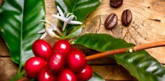 Kaffeepflanze mit roten Kaffeebohnen an einem Zweig eines Kaffeebaums